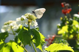 viburnum with butterfly