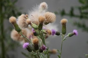Thistle - Connecticut Weed